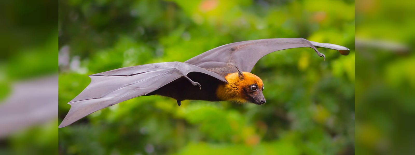 Study of bats finds that couples that eat together, mate together