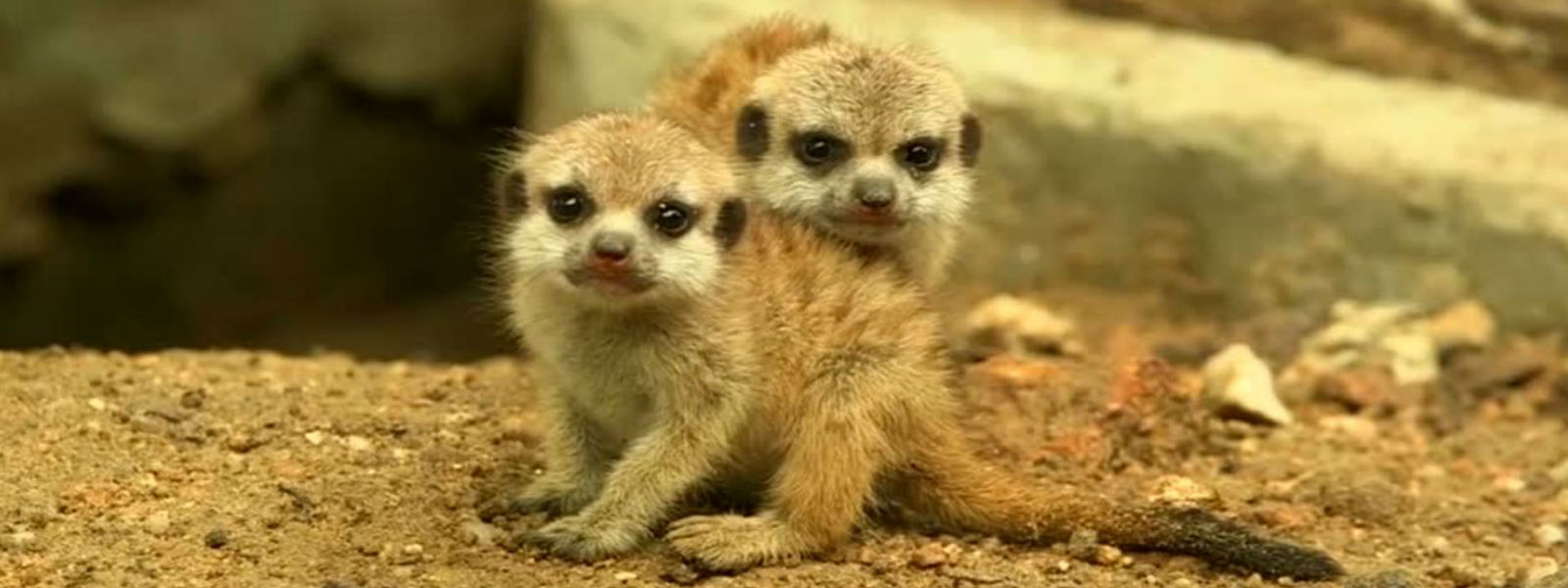 Baby meerkats melt hearts at Thai zoo
