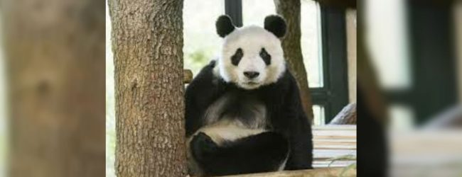 Vienna zoo presents giant panda Yuan Yuan to public