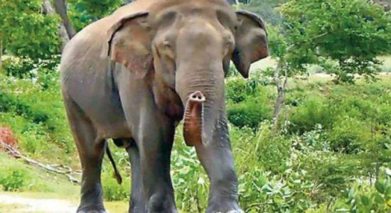 Elephant rescued in Horowpathana