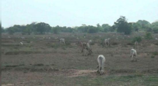 Livestock farming in Batticaloa threatened by lack of water