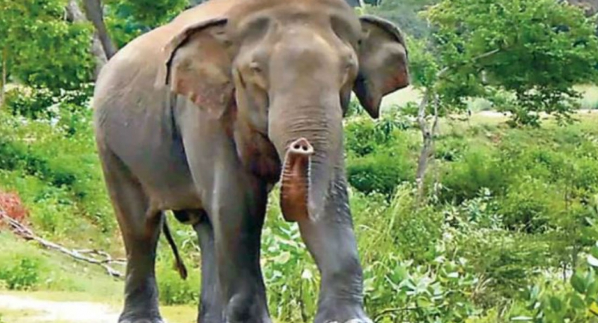 Elephant rescued in Horowpathana