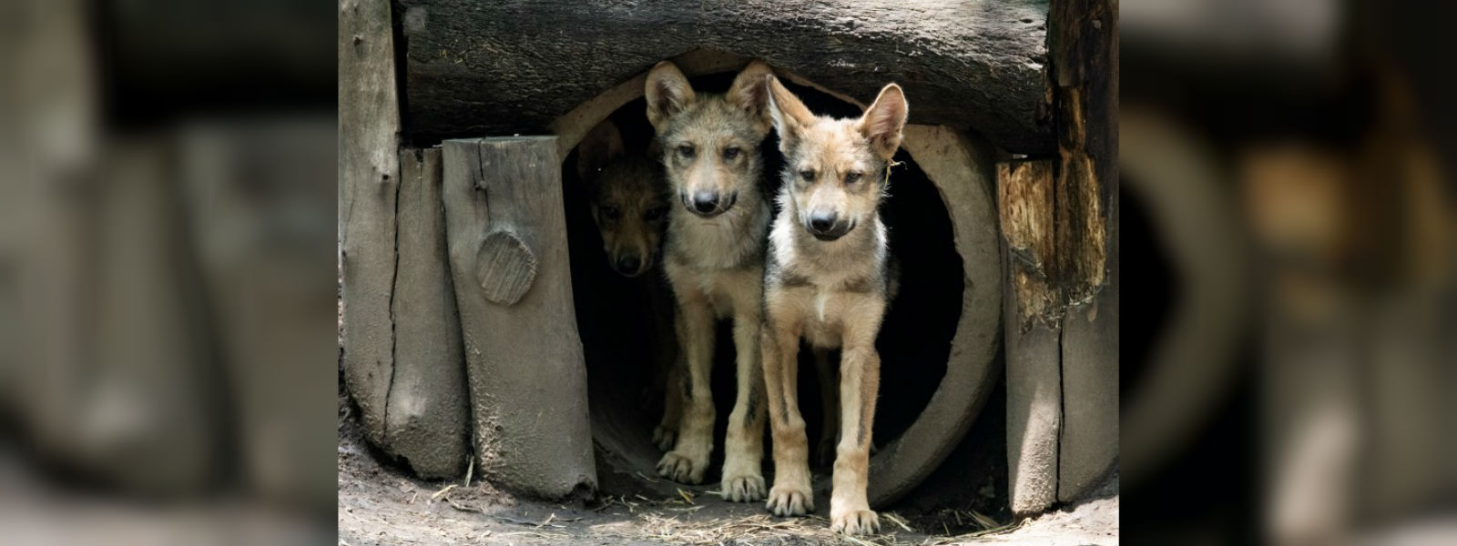 Endangered Mexican wolf pups take spotlight at Mexico City zoo