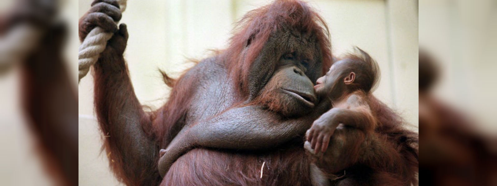 Orangutan by day, gifted painter by night: Paris zoo's Nenette turns 50