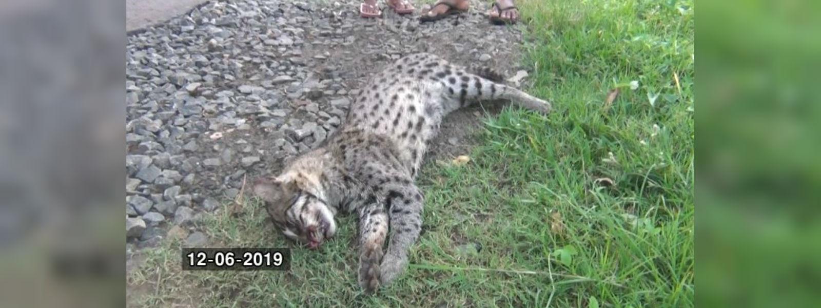 Fishing cat aka Handun Diviya run over in Hambantota