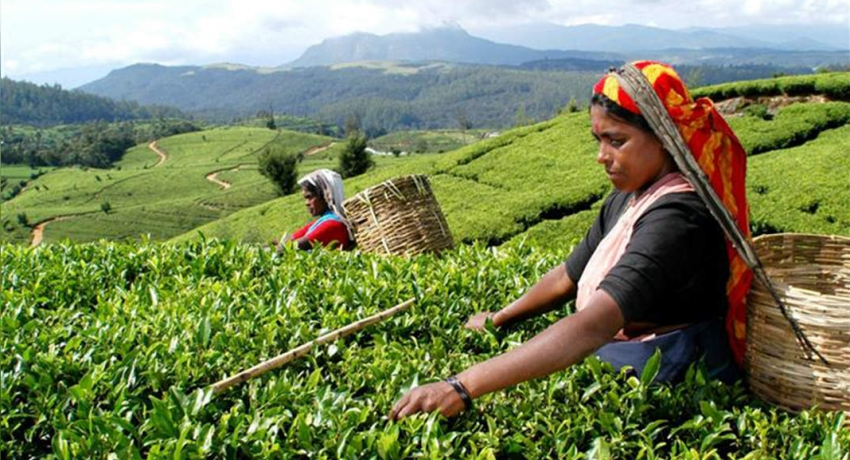 Tea leaf prices continue to go down