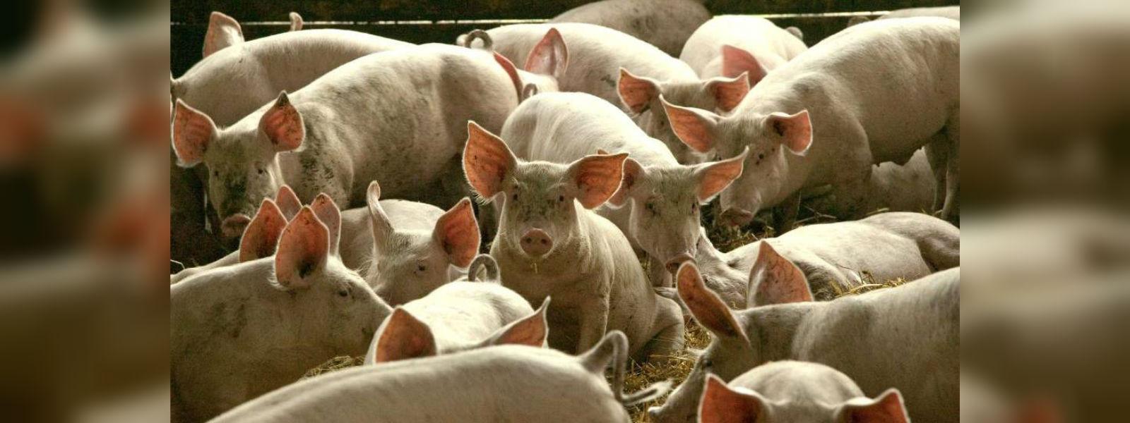 Chinese unfazed by swine fever shops for pork