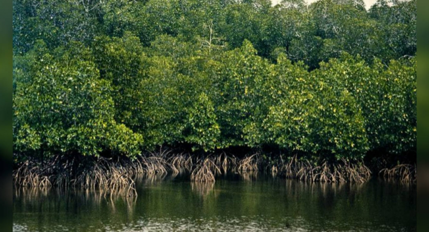 Two mangrove ecosystems in Puttlam declared reserves