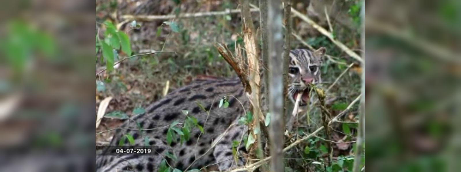 Ensnared fishing cat rescued in Galgamuwa