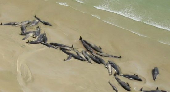 Iceland pilot whales: Dozens of dead mammals found beached