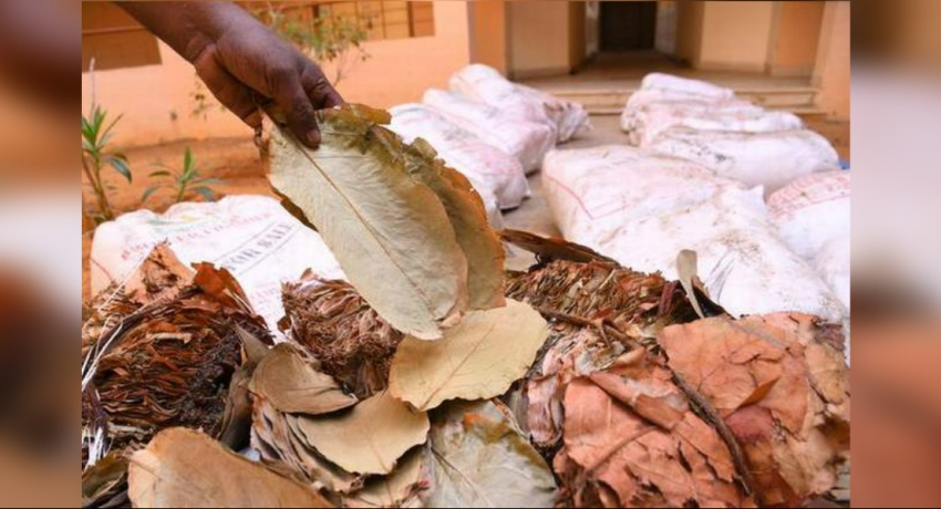 743 kg of beedi leaves seized in Northern seas
