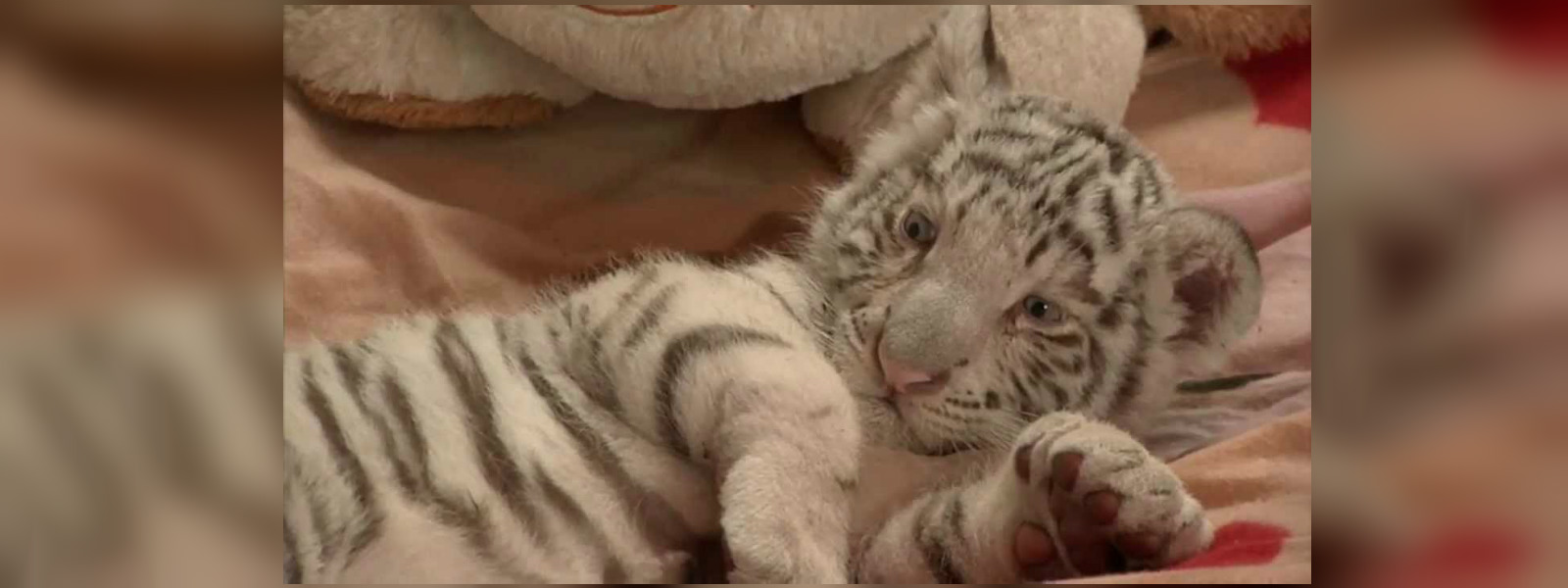 Birth of three Bengal tiger cubs delights Peru zoo