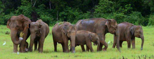 Wild elephants threaten the livelihood of Kekirawa villagers