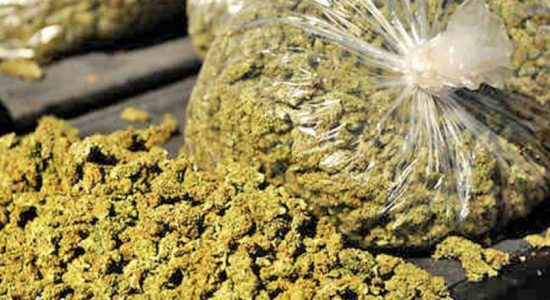 Over 60 kg of Kerala cannabis seized in Jaffna during raids