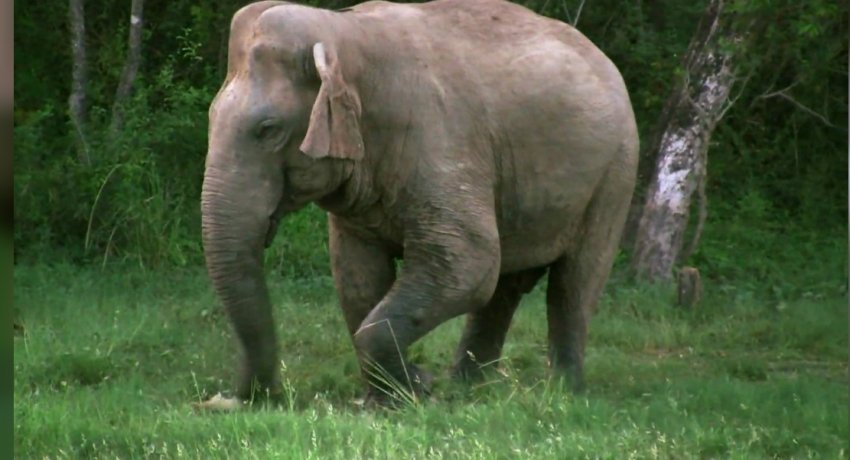 Elephant succumbs to gunshot injuries in Matale