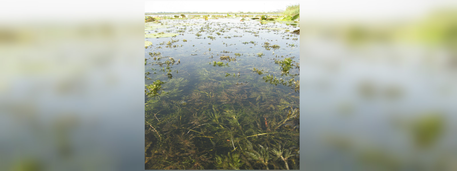 Invasive moss spreads in wewas of North Central Province