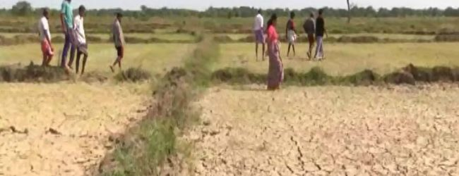 4362 hectares of paddy destroyed due to drought