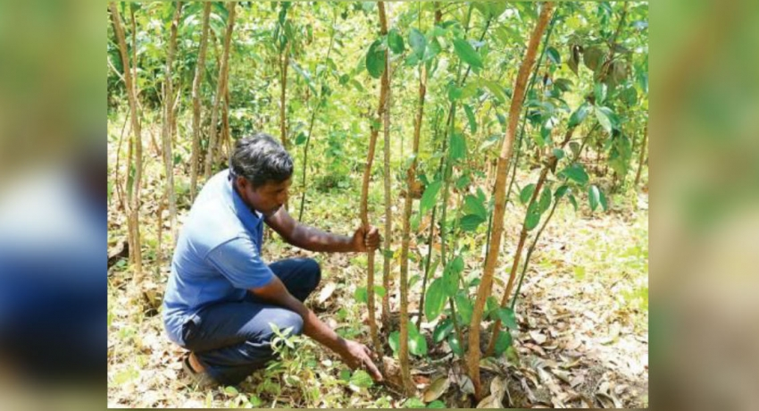 Declining price of cinnamon threaten farmers' livelihoods