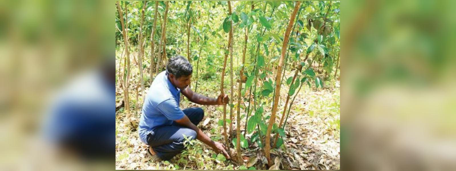 Declining price of cinnamon threaten farmers' livelihoods