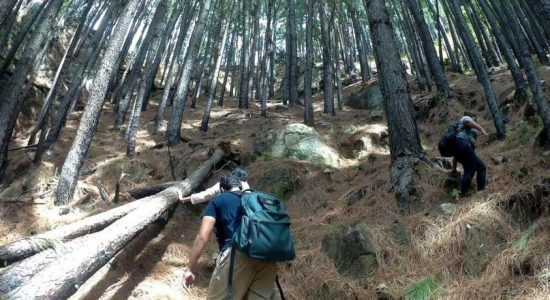Department of Forest Conservation to expedite removal of Pine plantations