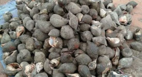 Navy uncovers 388 Conch shells in Mullaitivu