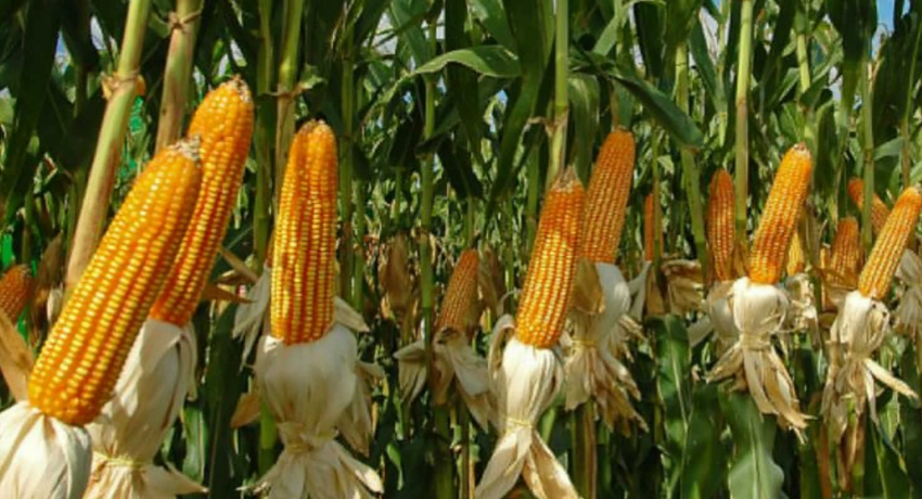 Sri Lanka to import 70,000 MT of corn due to low domestic produce