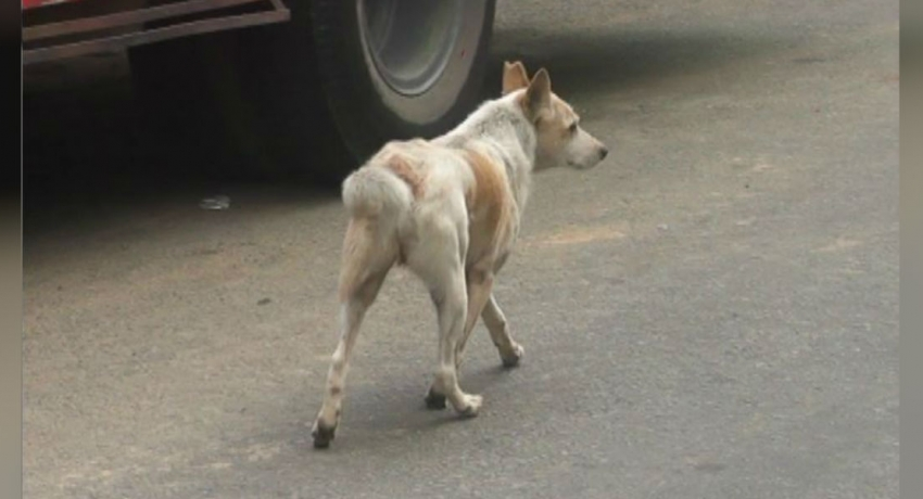 Stray dogs in Kandy to be relocated during Dalada perahera