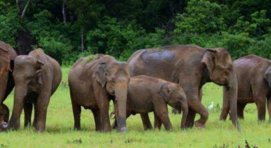 Wild elephants threaten the livelihood of Kekirawa villagers