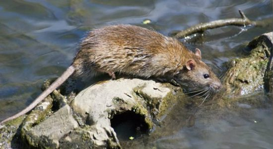 Rat fever patients top 3317 in 8 months