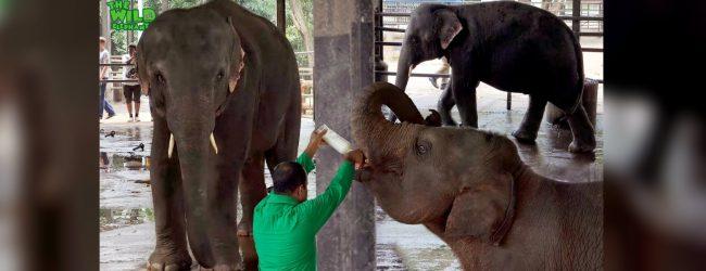 Pinnawala elephant orphanage employees on strike