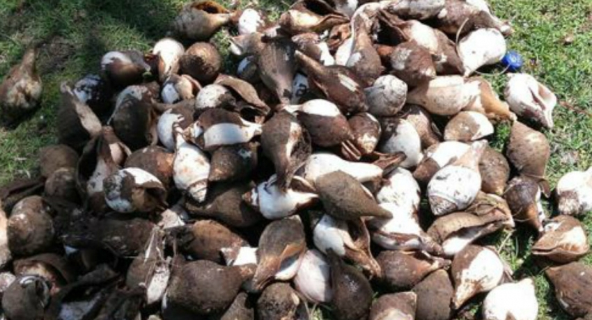 Navy apprehends suspect with 658 conch shells