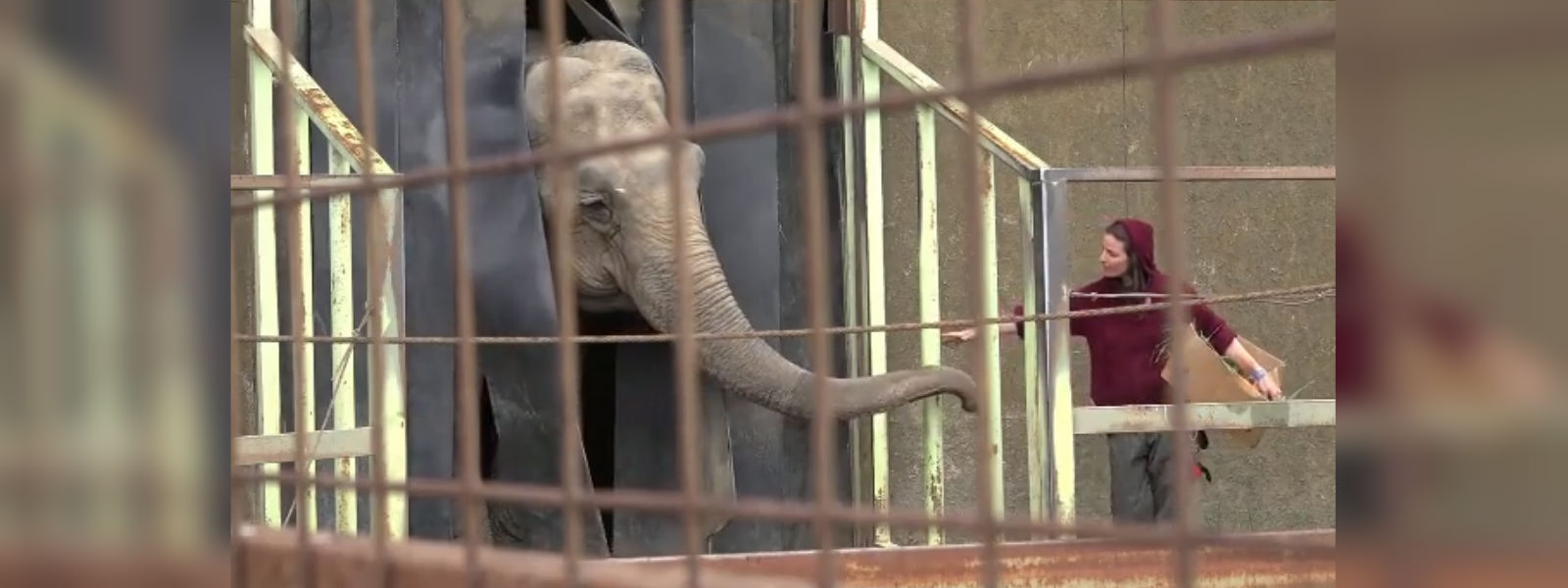 Rescued elephant flying from Chile to Brazil to live out her days in sanctuary