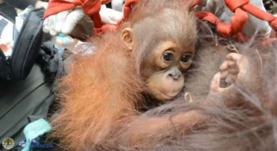 Mother and baby orangutans relocated from Indonesia forest fire