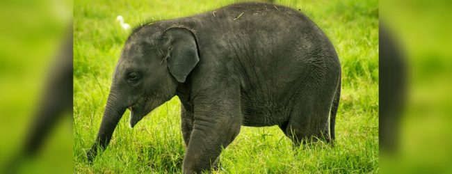 Polythene kills elephant in Ampara