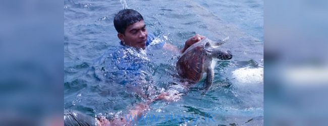 Navy rescues 32 sea turtles in Mannar