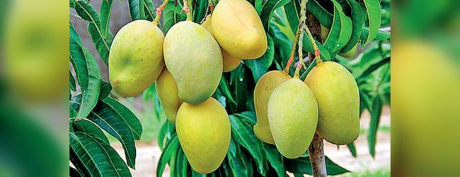 New mango variety discovered