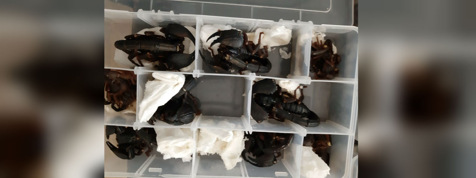 Chinese scorpion smuggler arrested at the BIA