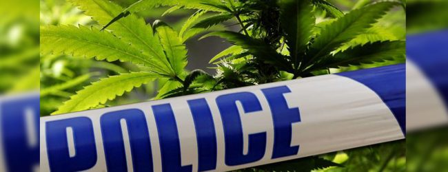 Cannabis plantation in Athimale raided
