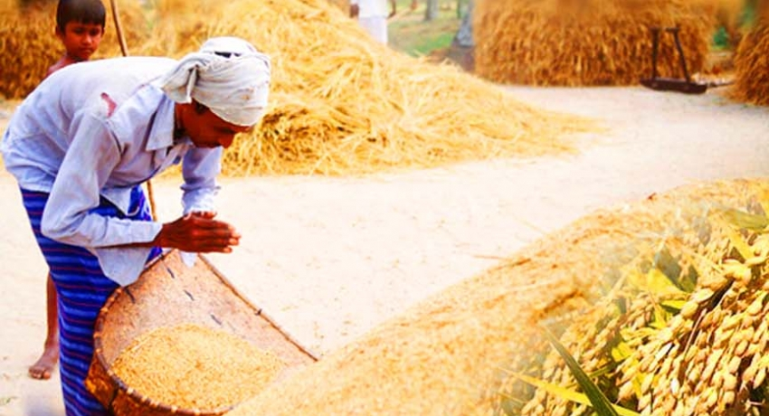 Farmers begin reaping paddy harvests for Maha season