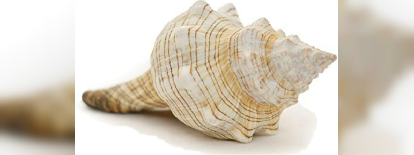 29 year old arrested with 19 conch shells in Batticoloa