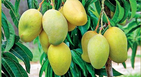 New mango variety discovered