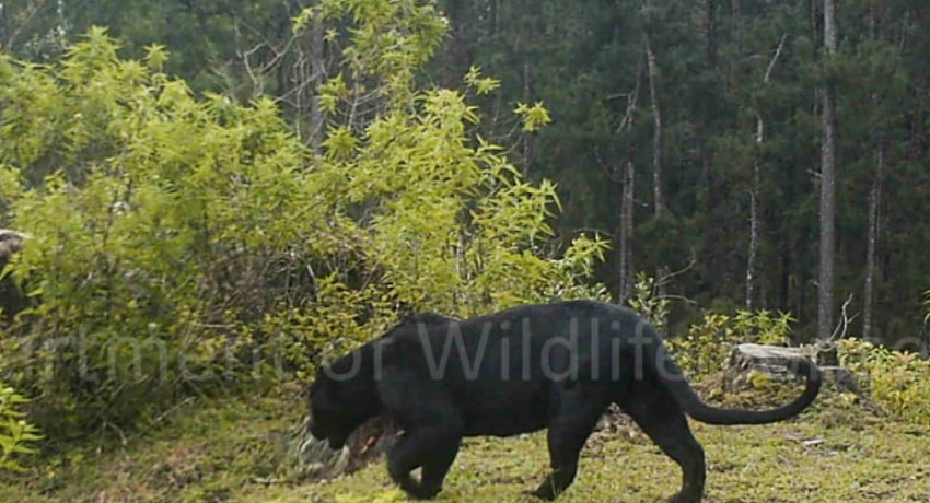 'Sri Lankan Black Panther' rediscovered in forests of Adam's Peak