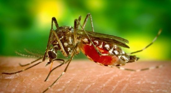Malaria vector Anopheles stephensi on the rise