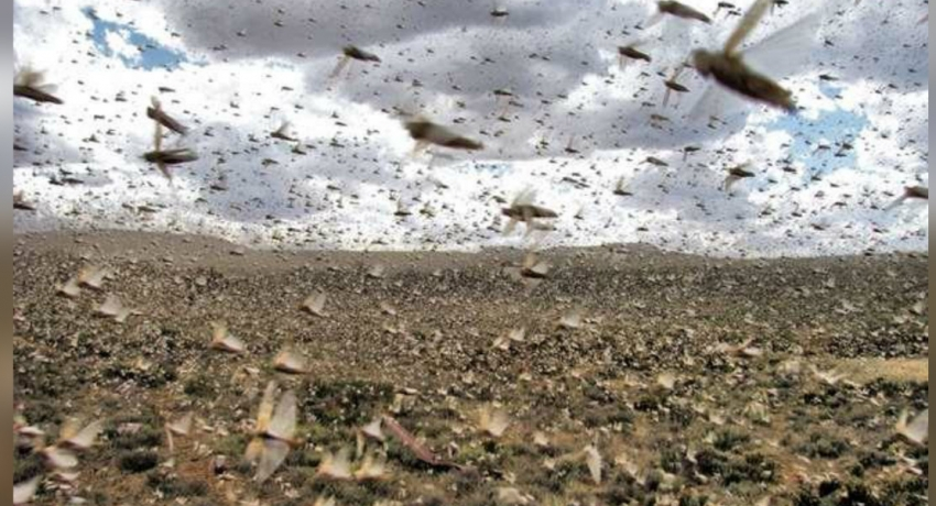 Sri Lanka at risk if overseas desert locust plague persists