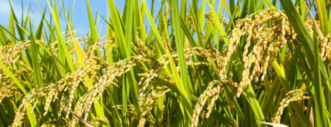 Cabinet approves to maintain 20,000 MT of rice