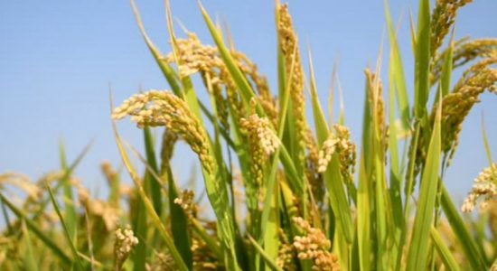 Rs. 3,830 Mn released for State Paddy Purchasing Program