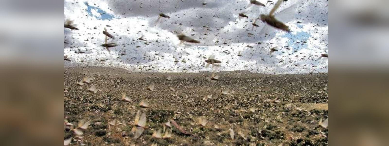 Sri Lanka at risk if overseas desert locust plague persists