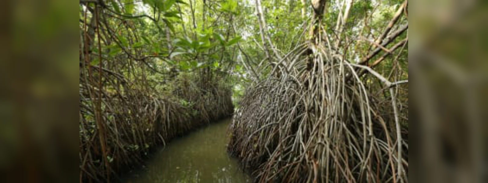 13 mangrove eco-systems to be declared as reserves