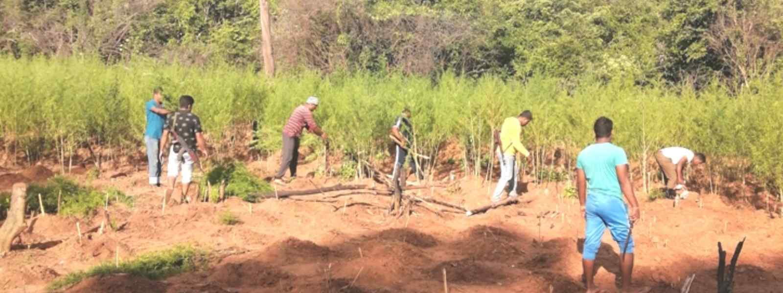 Large scale ganja farms raided in Ampara