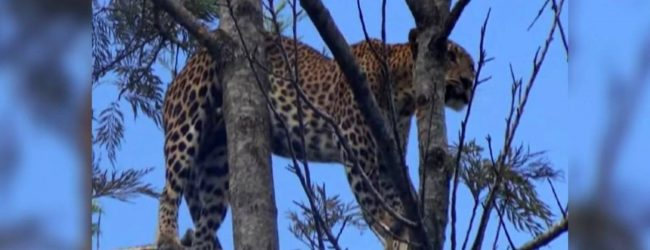 Leopard dies after being rescued in Maskeliya
